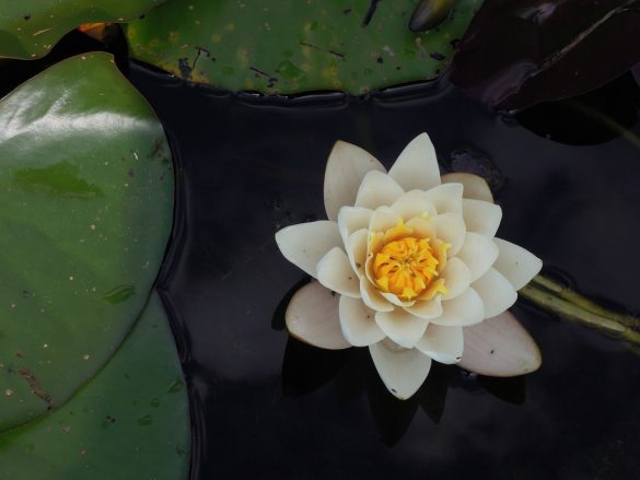 white lotus flower on body of water